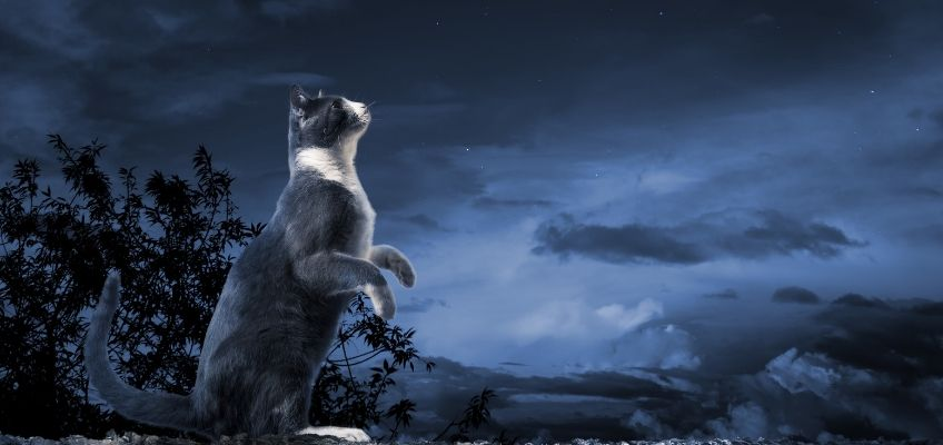 Cat howling at the moon like a werewolf