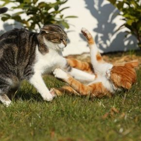 Cats sorting out disputes during the month of Youlie (July)